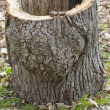 Hollowed out White Oak Log — Stock Photo