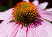 Close up of Pink Cone Flower — Stock Photo
