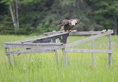 A bald eagle spreading its wings on a duck blind. — Stock Photo
