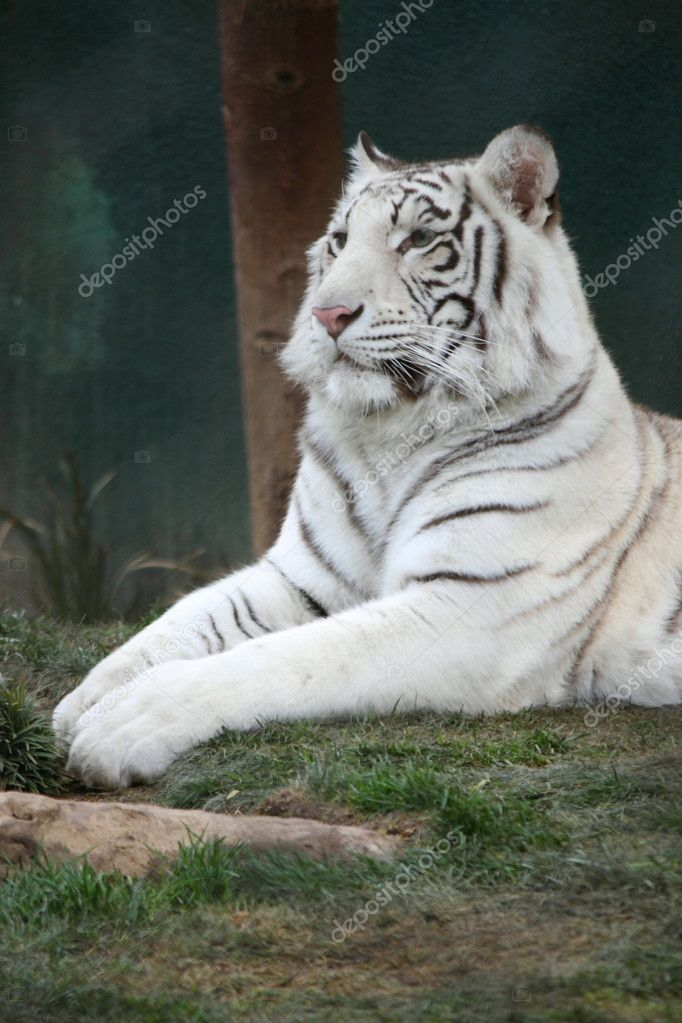 A white tiger laying in the grass at a park.  Stock Photo #12154609