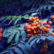 Branch of rowan — Stock Photo #11675453