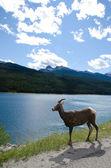 Mountain Sheep — Stock Photo