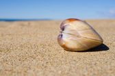 Shell on the pyazhe — Stock Photo