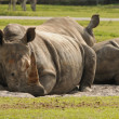 Rhinos resting — Stock Photo #11601489