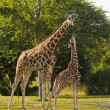 Mother and cub giraffe — Stock Photo