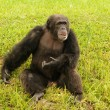Chimp in wild — Stock Photo #11606097