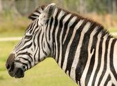 Zebra head closeup — Stock Photo