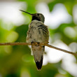 Stock Photo: Humming bird