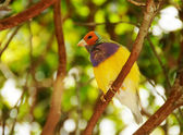 Exotic finch — Stock Photo