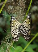 Butterflies mating — Stock Photo