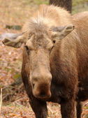 Adult moose — Stockfoto