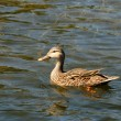 Duck in pond — Stock Photo #11635834