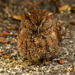 Royalty-Free Stock Photo: Screech owl