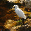 Snowy egret — Stock Photo #11642200