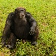 Chimp sitting on grass — Stock Photo