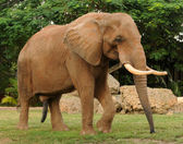 Adult African elephant — Stock Photo