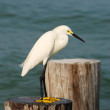 Snowy egret — Photo