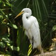 White egret — Photo