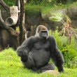 Silverback gorilla — Stock Photo #11656925