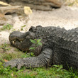 American alligator - Stockfoto