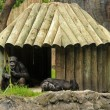 Chimp habitat - Stockfoto