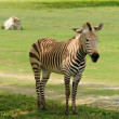 Stock Photo: Africzebra