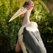 Marabou stork — Stock Photo #11658555
