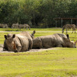Stock Photo: Wild rhinos