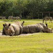 Wild rhinos — Stock Photo