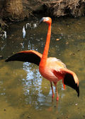 Flamingo selvagem — Fotografia Stock