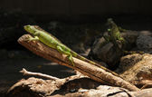 Green iguana — Photo