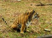 Tigre di riposo — Foto Stock