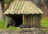 Chimp habitat — Stock Photo