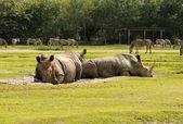 Wild rhinos — Stock Photo