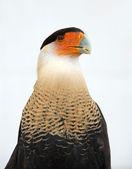 Crested caracara — Stock Photo