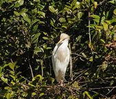Egret nest — 图库照片