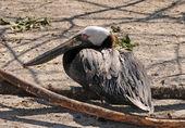 коричневый пеликан — Стоковое фото