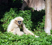 Wild gibbon — Stock Photo