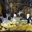 Group of penguins — Stock Photo #11801753
