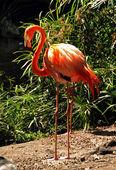 Exótico flamingo — Foto de Stock