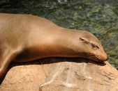 Sleeping seal — Foto Stock