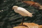 Snowy egret — Foto Stock