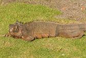 Wild iguana — 图库照片