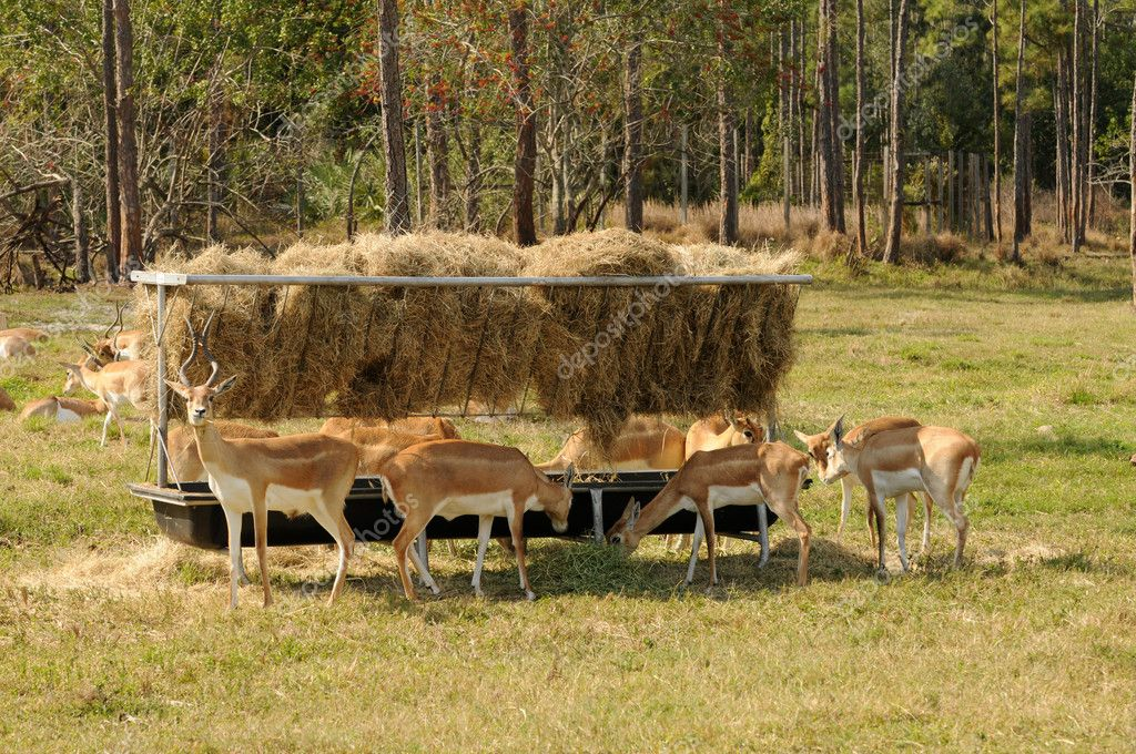 Group of African antelopes feeding together  Stock Photo #11852851