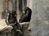Wild chimps — Stock Photo