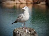 Seagull resting — Stock Photo