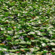 Water lillies — Stock Photo