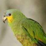 Green parrot — Stock Photo #11929487