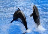 Killer whales — Stock Photo