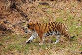 Wild tiger — Stock Photo